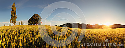 Sunset over wheat field with path in Sl