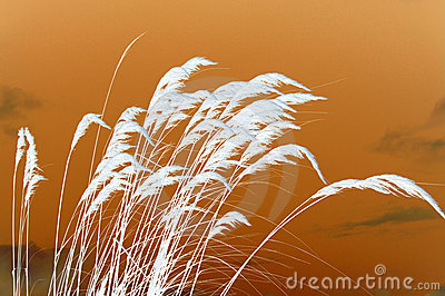 Sunset on Pampas Grass