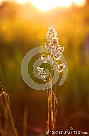 Sunset plant