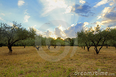Sunset in Provence, Olive trees field