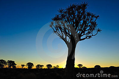 Sunset in the Quiver Tree Forest (Aloe dichotoma)