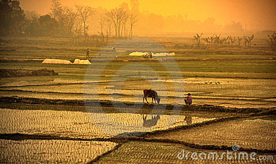 Sunset in the rice field