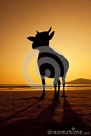 A sunset silhouette of a cow on the beach.