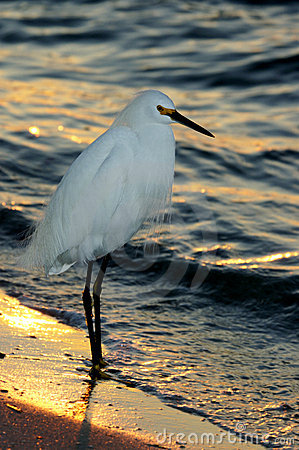 Sunset Snowy Egret