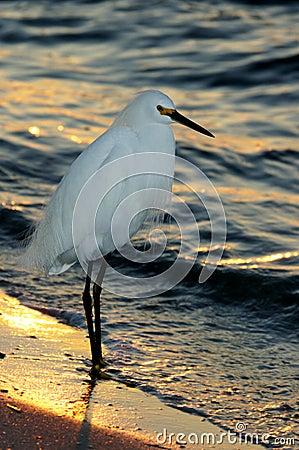 Free Sunset Snowy Egret Stock Image - 434601