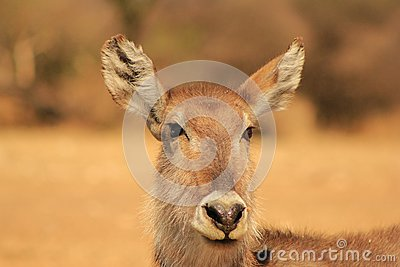 Sunset stare from Waterbuck mom - Africa