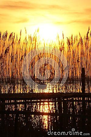 Free Sunset Through Reed Royalty Free Stock Image - 17896556