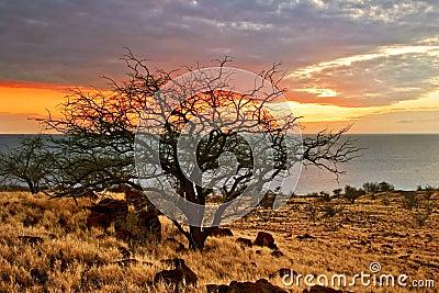 Sunset tree of Hawaii