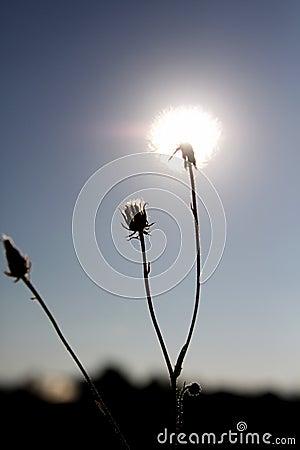 Free Sunshine Dandelions Royalty Free Stock Photo - 59067185