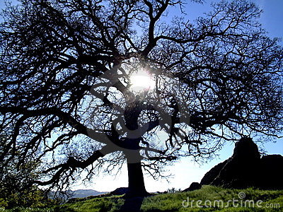 Sunshine through an oak tree