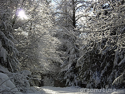 Sunshine through snowy branches on a winter path i