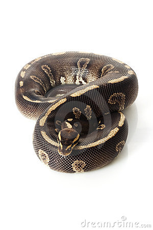 Super chocolate ball python