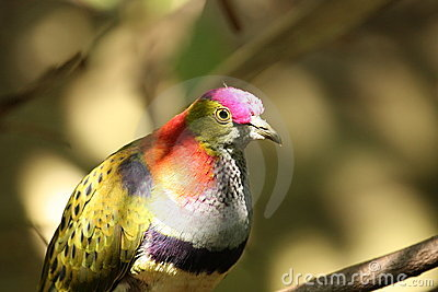 Superb Fruit Dove (Ptilinopus Superbus)