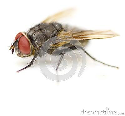 Supermacro of Housefly