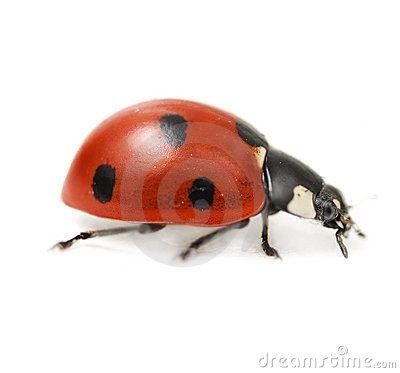 Supermacro of Ladybird