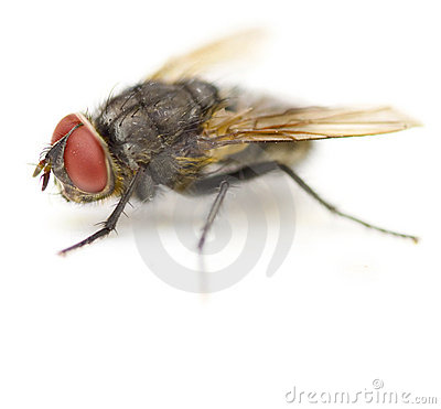 Free Supermacro Of Housefly Stock Photos - 9664243