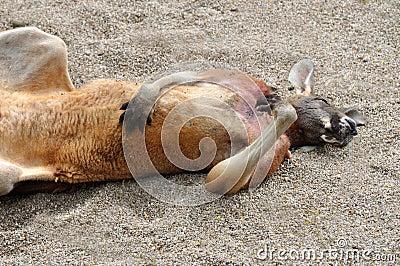 A supine Australian Kangaroo