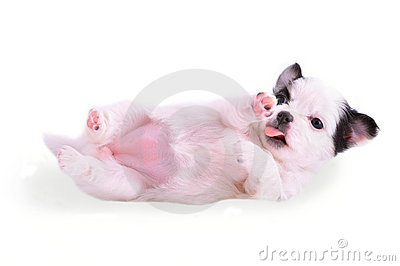 Supine chihuahua puppy