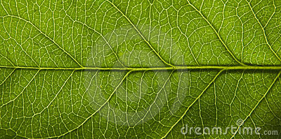 Surface of green leaf