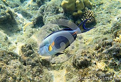 Surgeonfish di Sohal