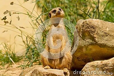 A suricata