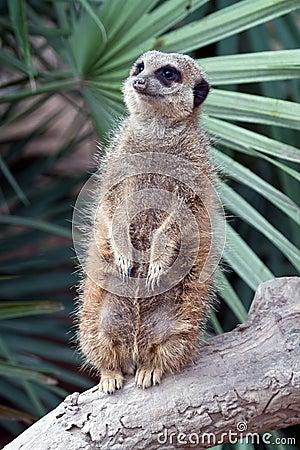 Suricata Meerkat