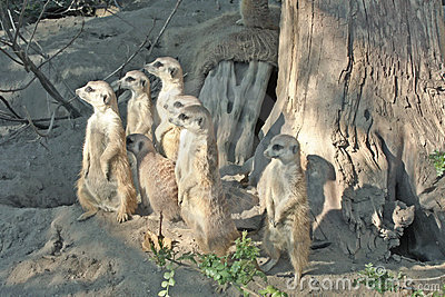 Suricata  Meerkat suricatta