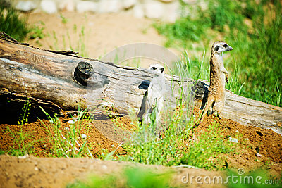 Suricata suricatta family,