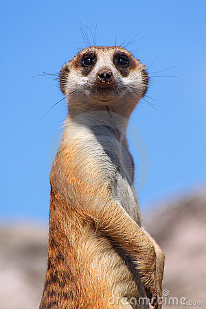 Free Suricate Royalty Free Stock Photo - 19429035
