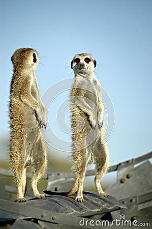 Free Suricate (Meerkat) In Namibian Desert Royalty Free Stock Images - 1416859