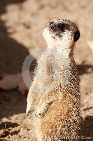 Suricate or Meerkat or Mongoose