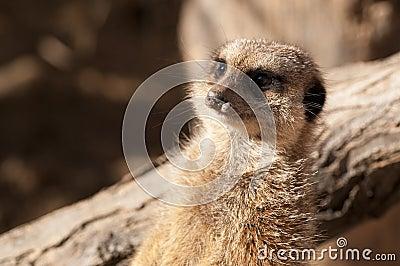 Suricate or Meerkat or Mongoose