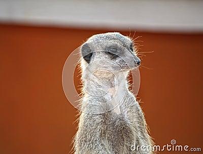 Suricate or meerkat in Sahara desert
