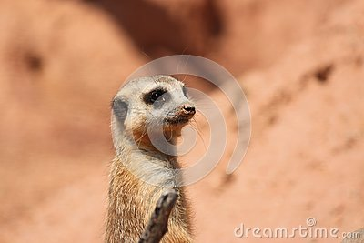 Suricate Mongoose
