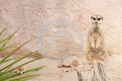Suricate or Mongoose or Meerkat