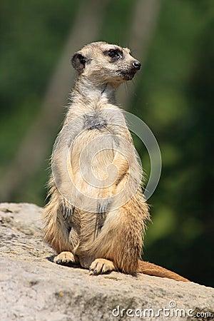 Suricatta animal