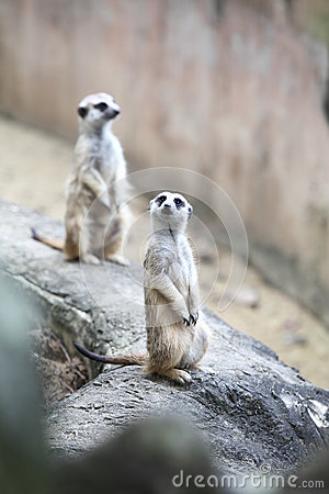 Surikate or Meerkat standing upright as Sentry