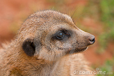 Suritcate, or Meerkat (Suricata suricata)