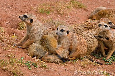 Suritcates, or Meerkats (Suricata suricata)