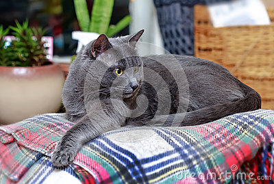 Surprised grey cat on checkered plaid