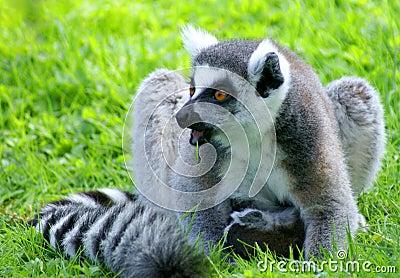 Surprised lemur