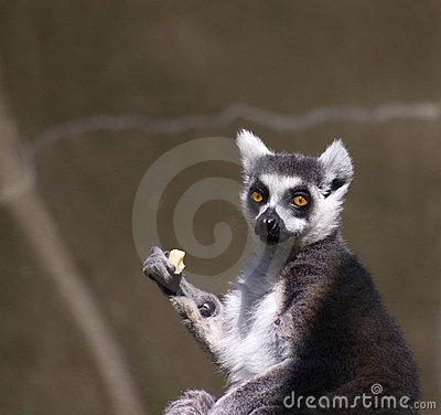 Surprised Lemur