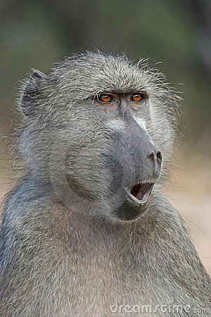 Free Surprised Looking Baboon Stock Photography - 2491762