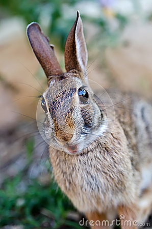 Surprised looking cottontail bunny rabbit