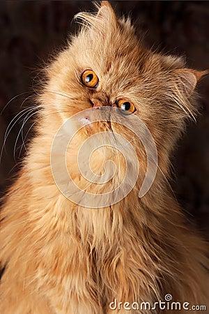 Surprised Persian cat
