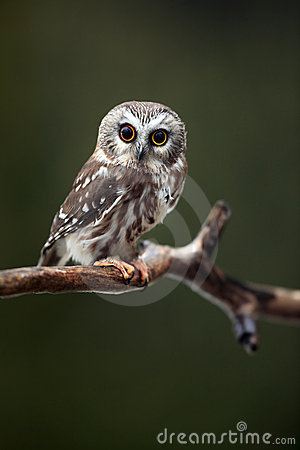 Surprised Saw-Whet Owl