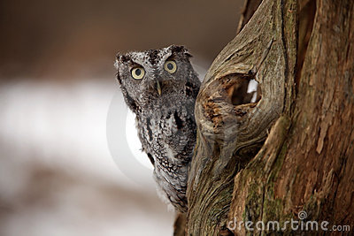 Surprised Screech Owl
