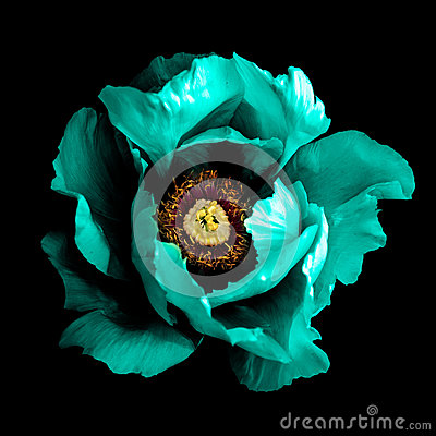 Free Surreal Dark Chrome Cyan Peony Flower Macro Isolated Stock Photography - 94310692