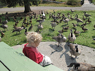 Surrounded by Geese