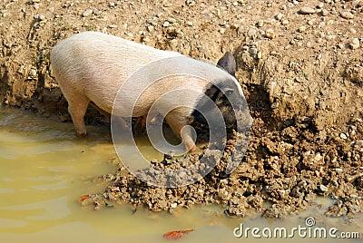 Survival: pig in mud
